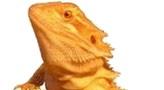 Logo Bartagamen-Infos